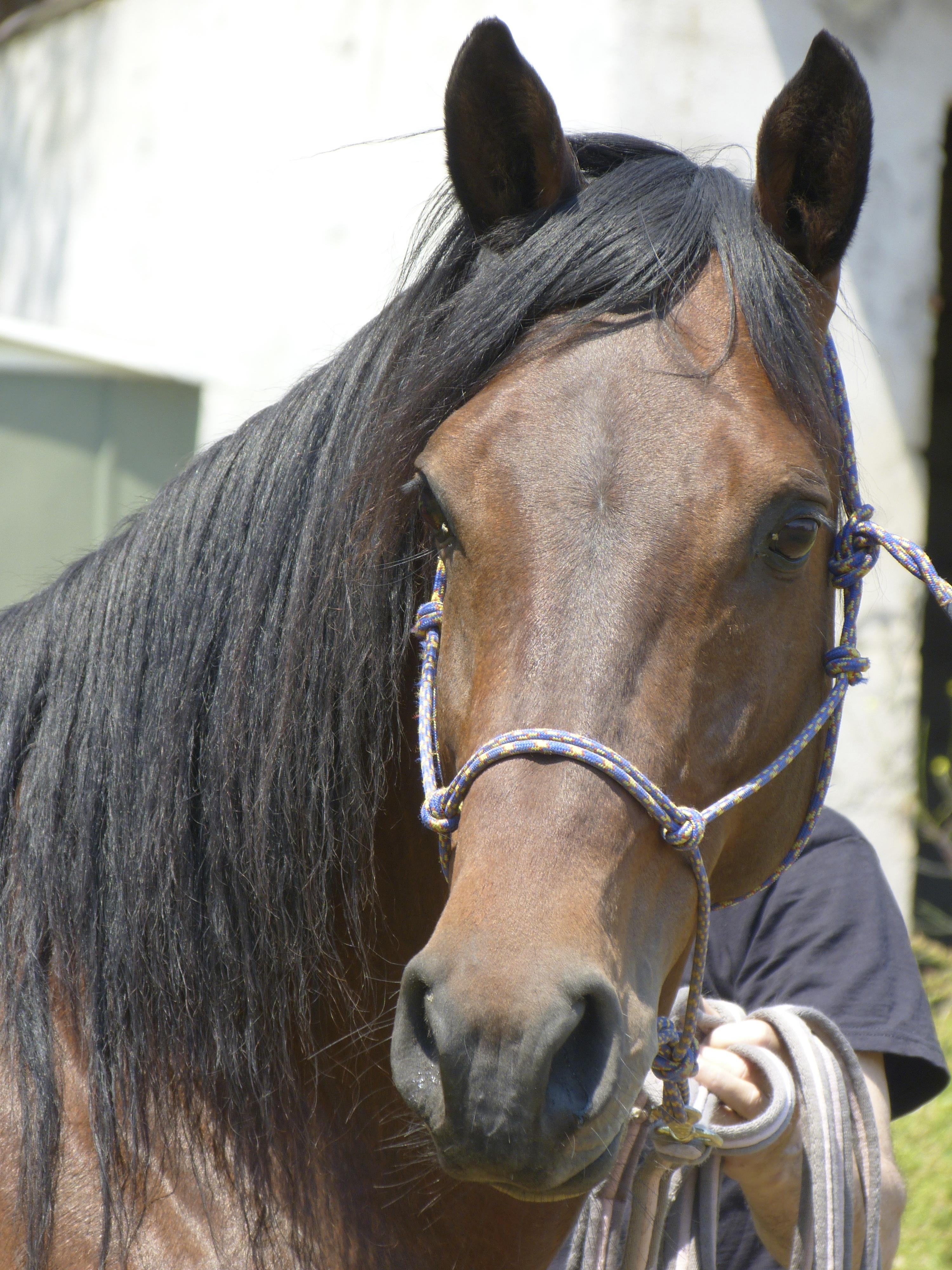 U Cavallu Corsu- Saison de monte 2014