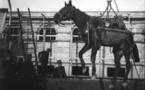 Transport maritime des chevaux